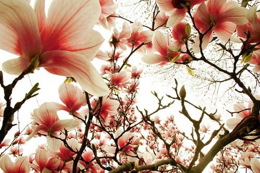 blossom_web
